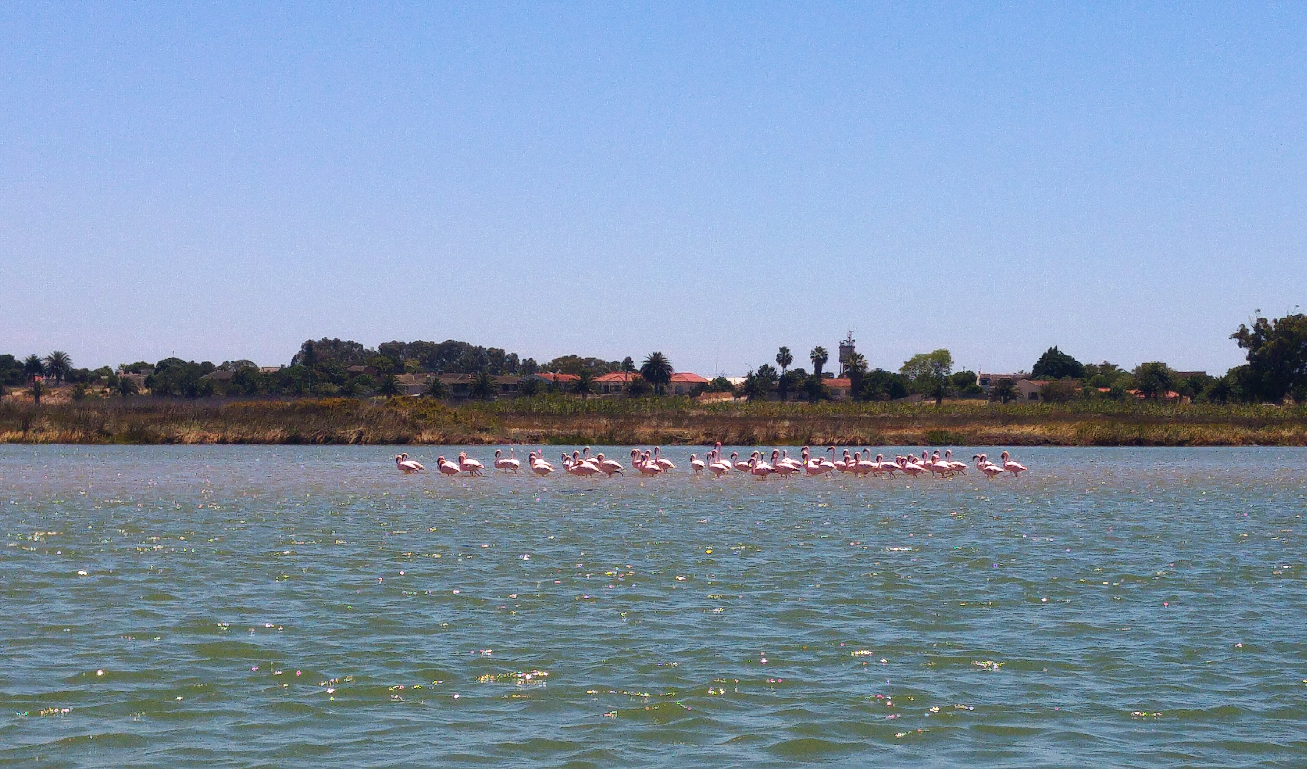 Flamingoes 11 Nov 2016
